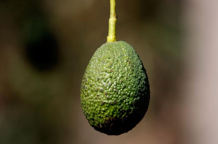 Európában is forgalomba kerül az ehető csomagolás, amiben kétszer annyi ideig friss marad az avokádó