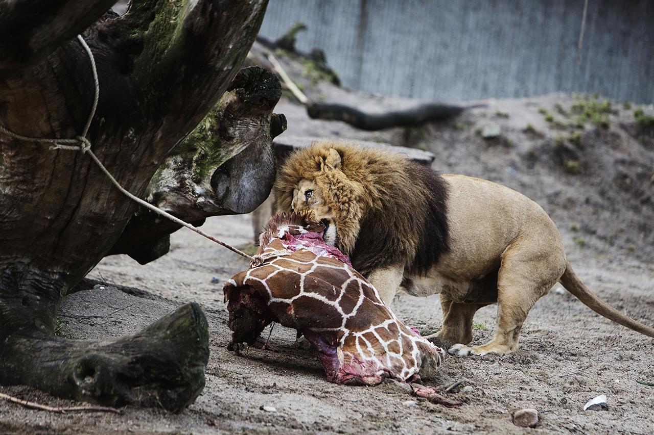 Látogatók előtt boncolnak fel egy oroszlánt egy dán állatkertben