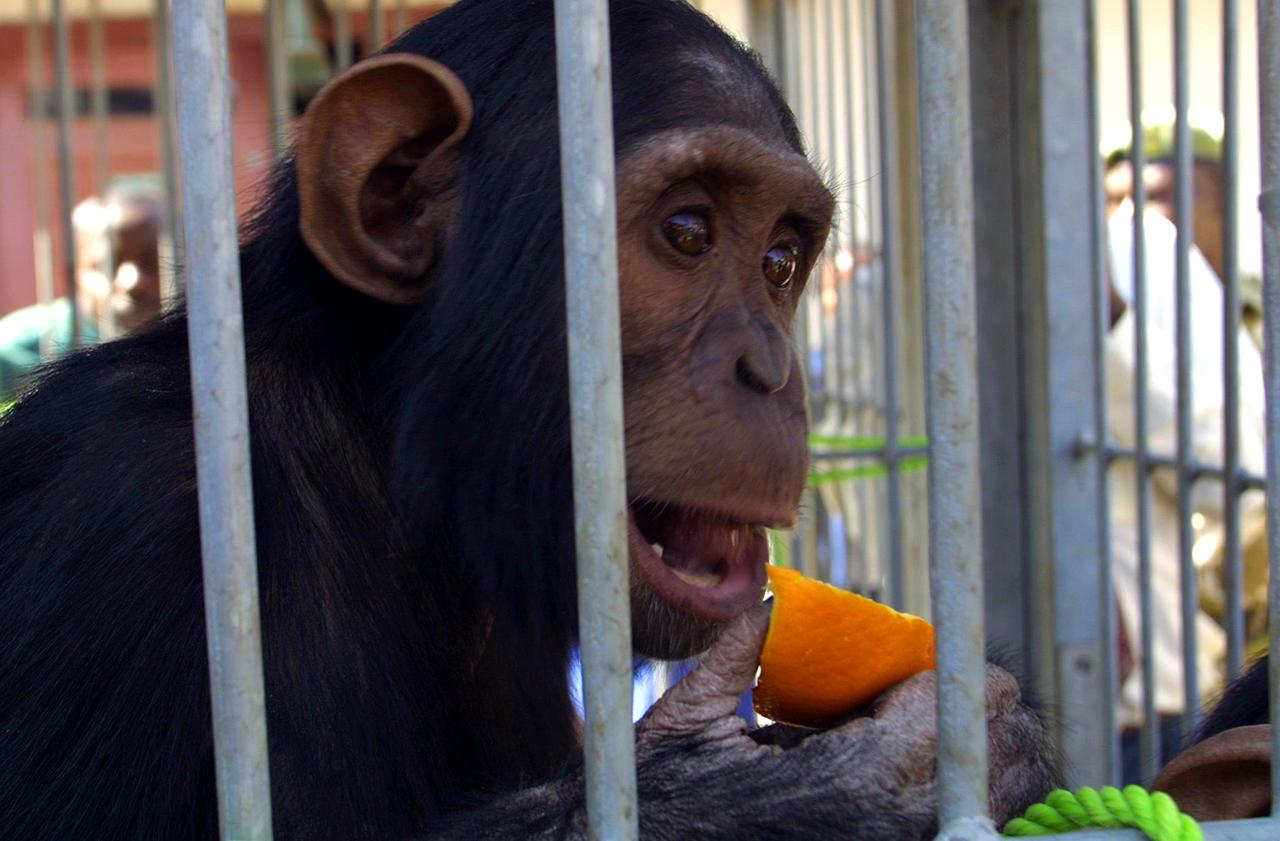 Nem lesz több laboratóriumi csimpánz az Egyesült Államokban