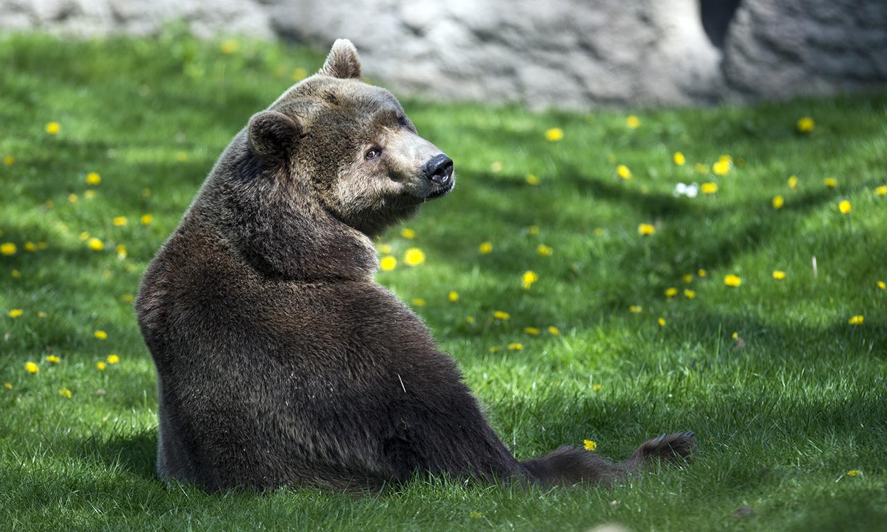 200 bárány vetette magát a halálba egy szikláról, mert üldözte őket egy medve
