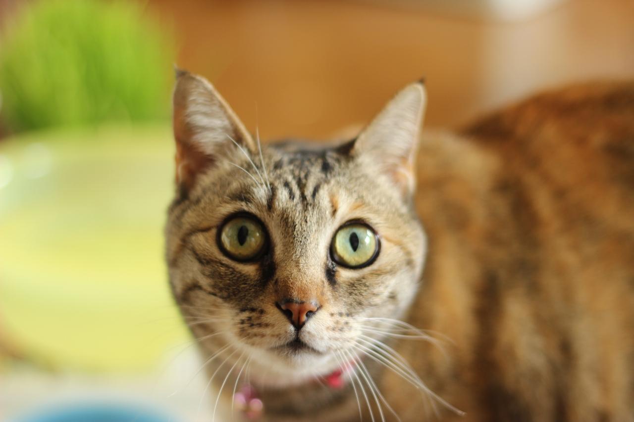 Kitiltották a 8 év alattiakat a debreceni macskakávézóból, mert egy gyerek ledobta az emeletről a hely egyik macskáját, Oszkárt