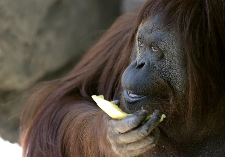 Kislemezt adott ki egy orangután