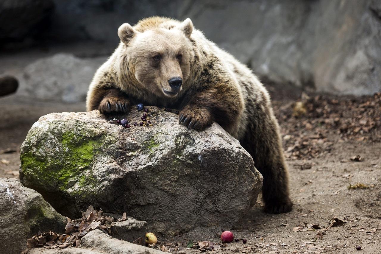 Túl sok a medve Hargitában, a megyei tanács szeretné, ha többet lehetne kilőni