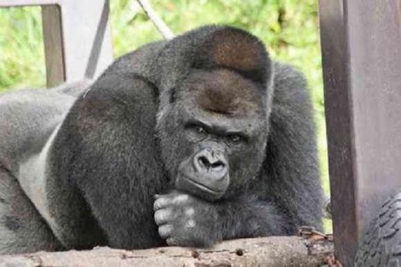 Majdnem dupla annyi gorilla élhet még a Földön, mint eddig gondoltuk