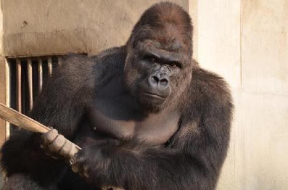Koronavírussal fertőződtek a San Diegó-i állatkert gorillái