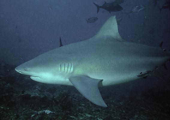 Cápatámadás volt egy ausztrál folyóban