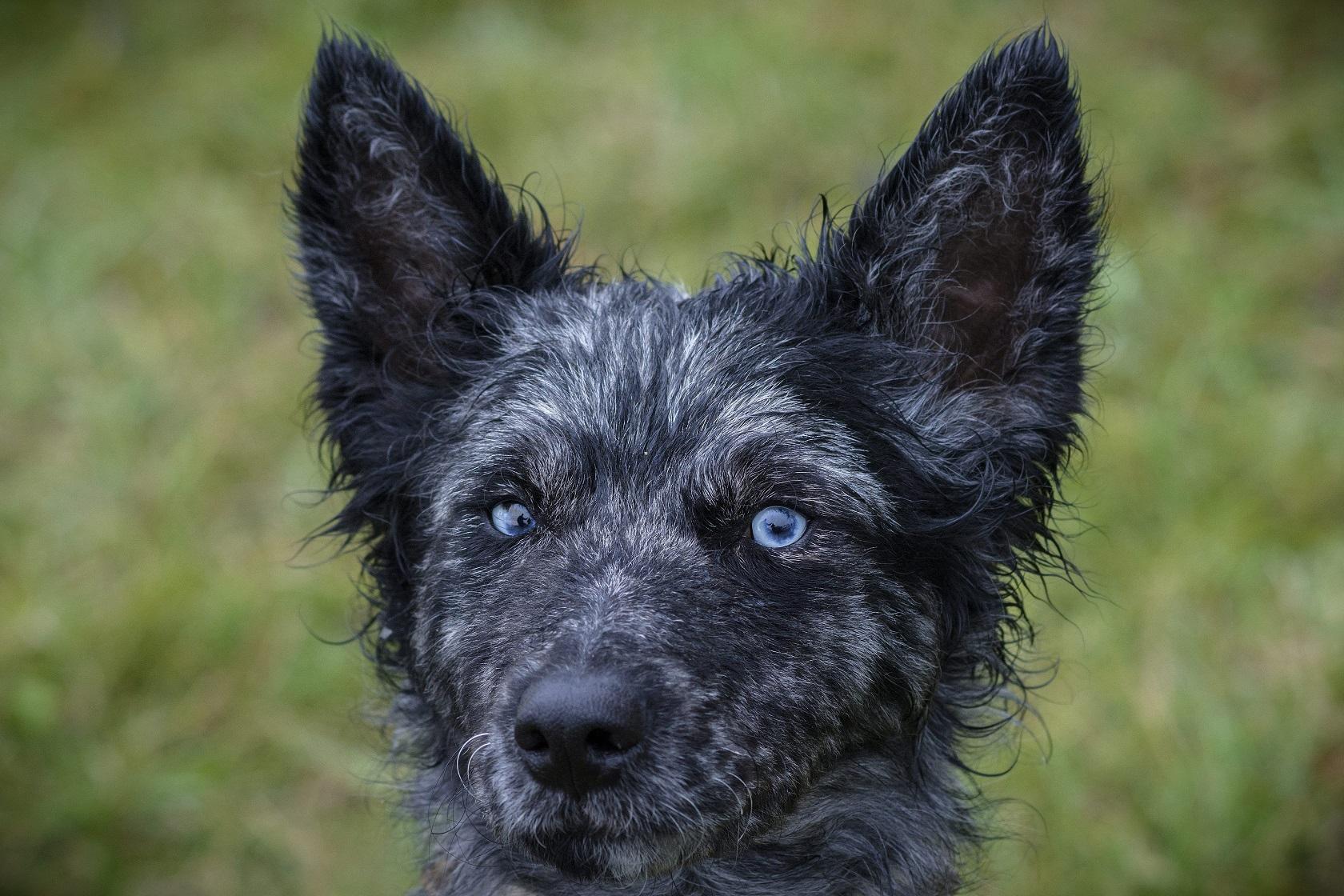 Kutyarezsi-csökkentés: ingyenes lesz a 9 hungarikum-kutyafajta törzskönyvezése