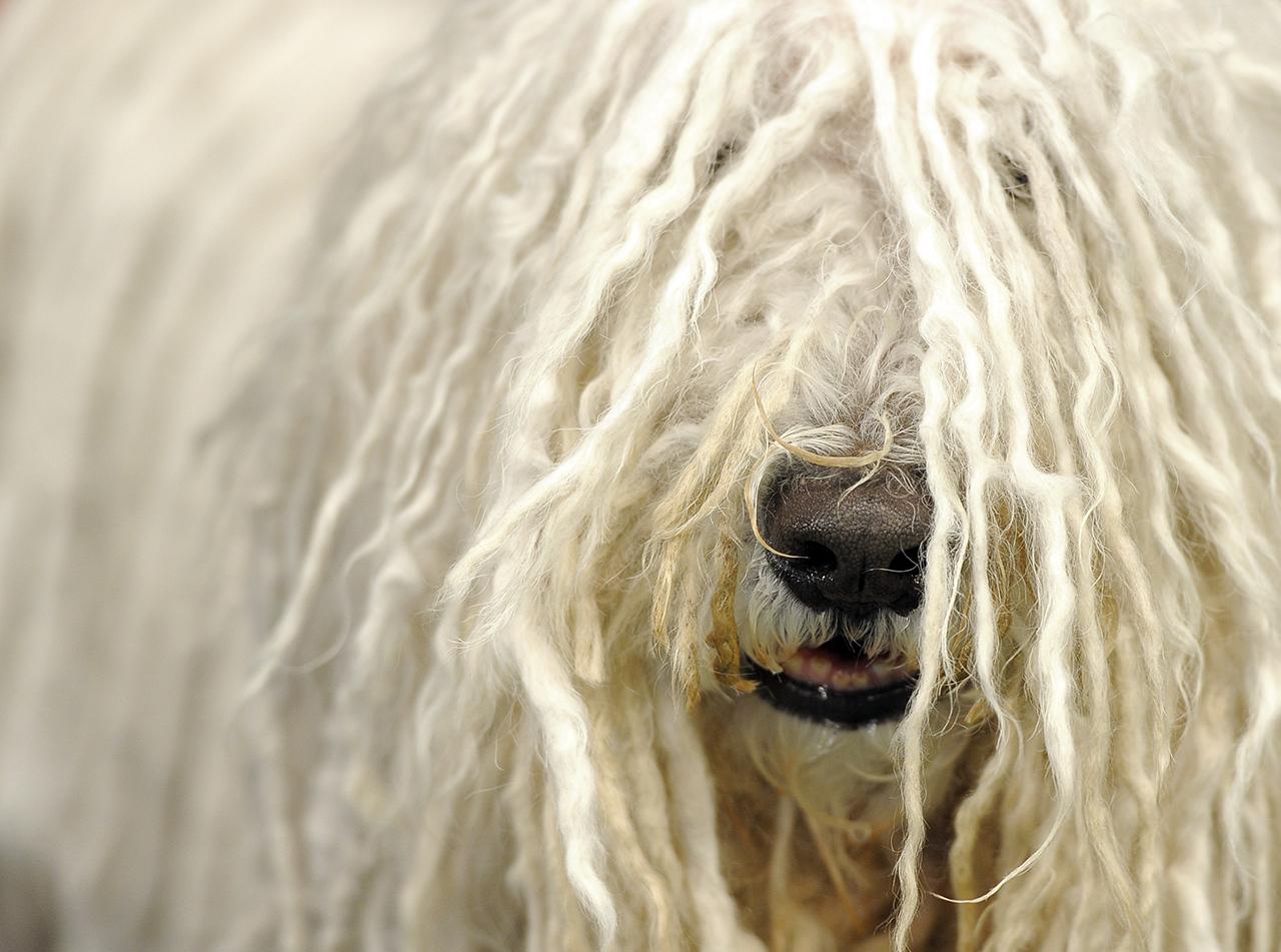 Megijedt a vihartól, egy hónappal később és huszonöt kilométerrel arrébb találták meg Macit, a komondort