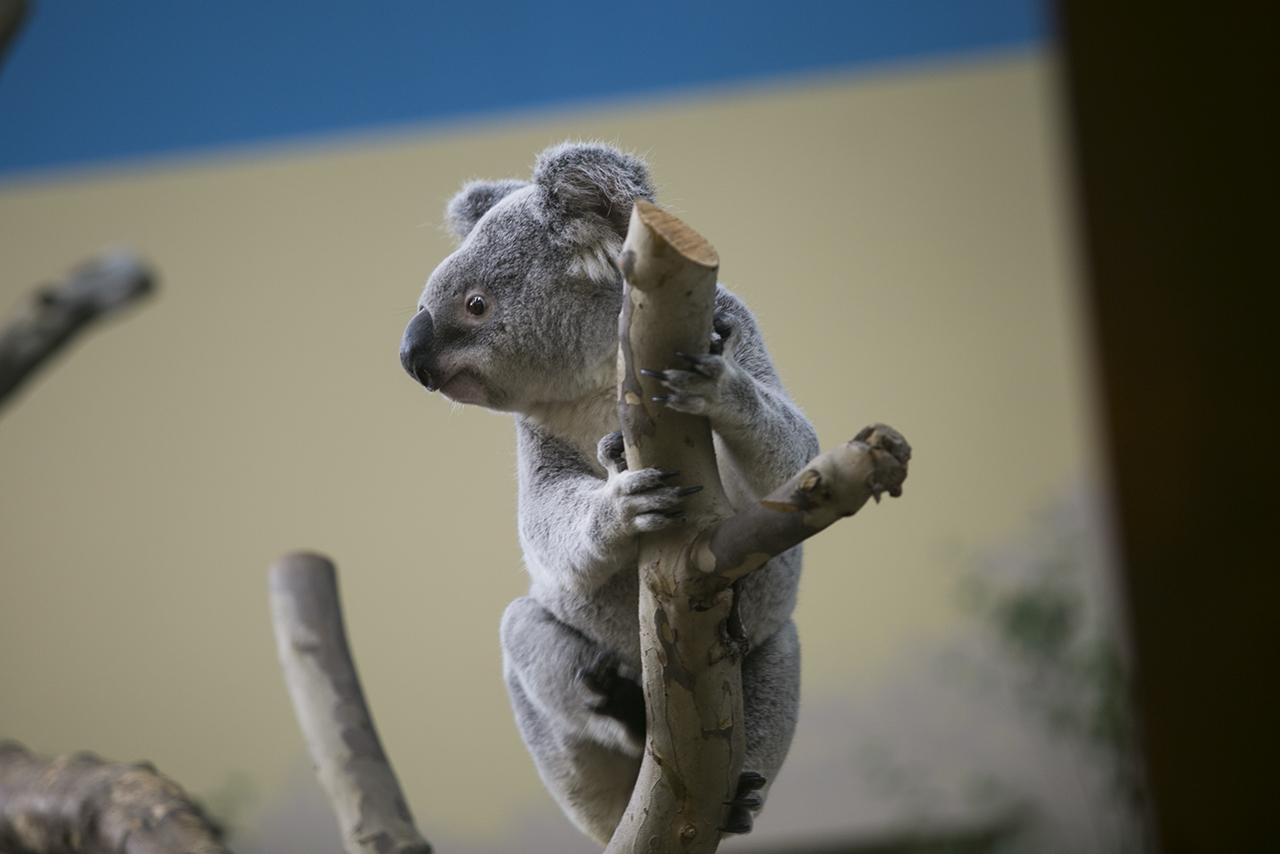 Természetvédők szerint másodszor fenyegeti kihalás a koalát
