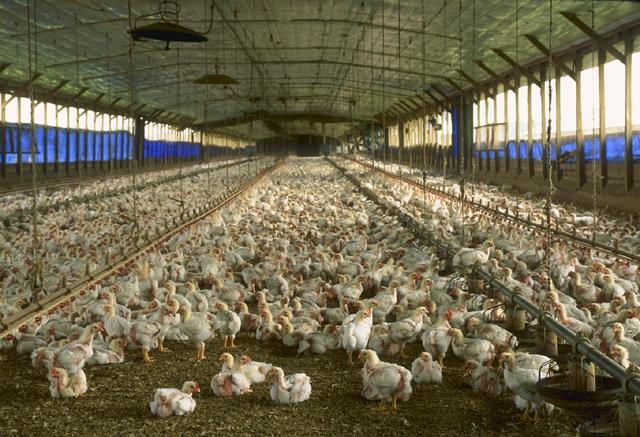 A Nébih szerint már Ausztriában és Németországban is megjelent a madárinfluenza