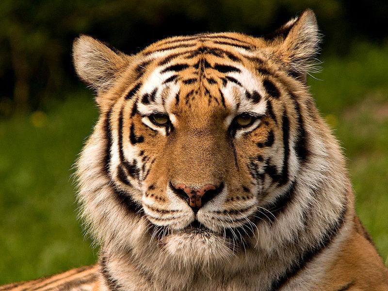 Nem lehet többé tigrist tartani Dubajban