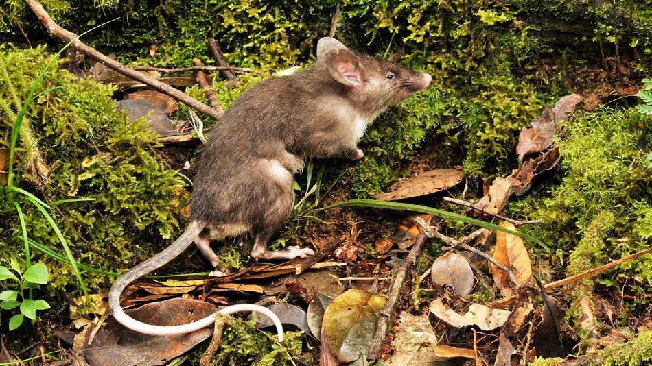 79 százalékkal nőtt a bejelentések száma a budapesti patkányhelyzet miatt