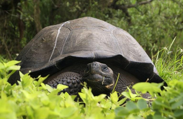 Új teknősfajt találtak a Galápagos-szigeteken