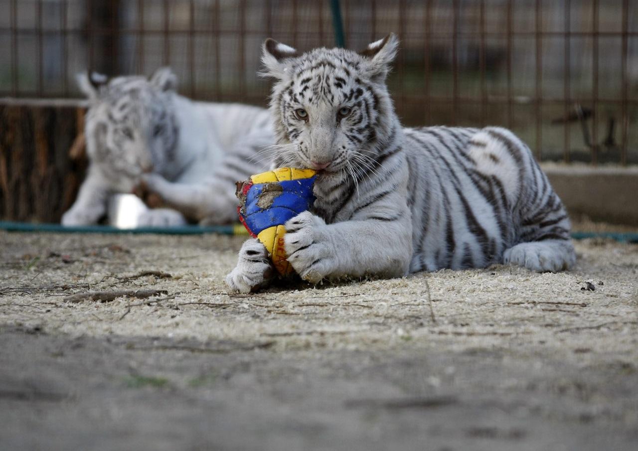 A felsőlajosi tigriskölykök sem értenek valami nagyon a focihoz