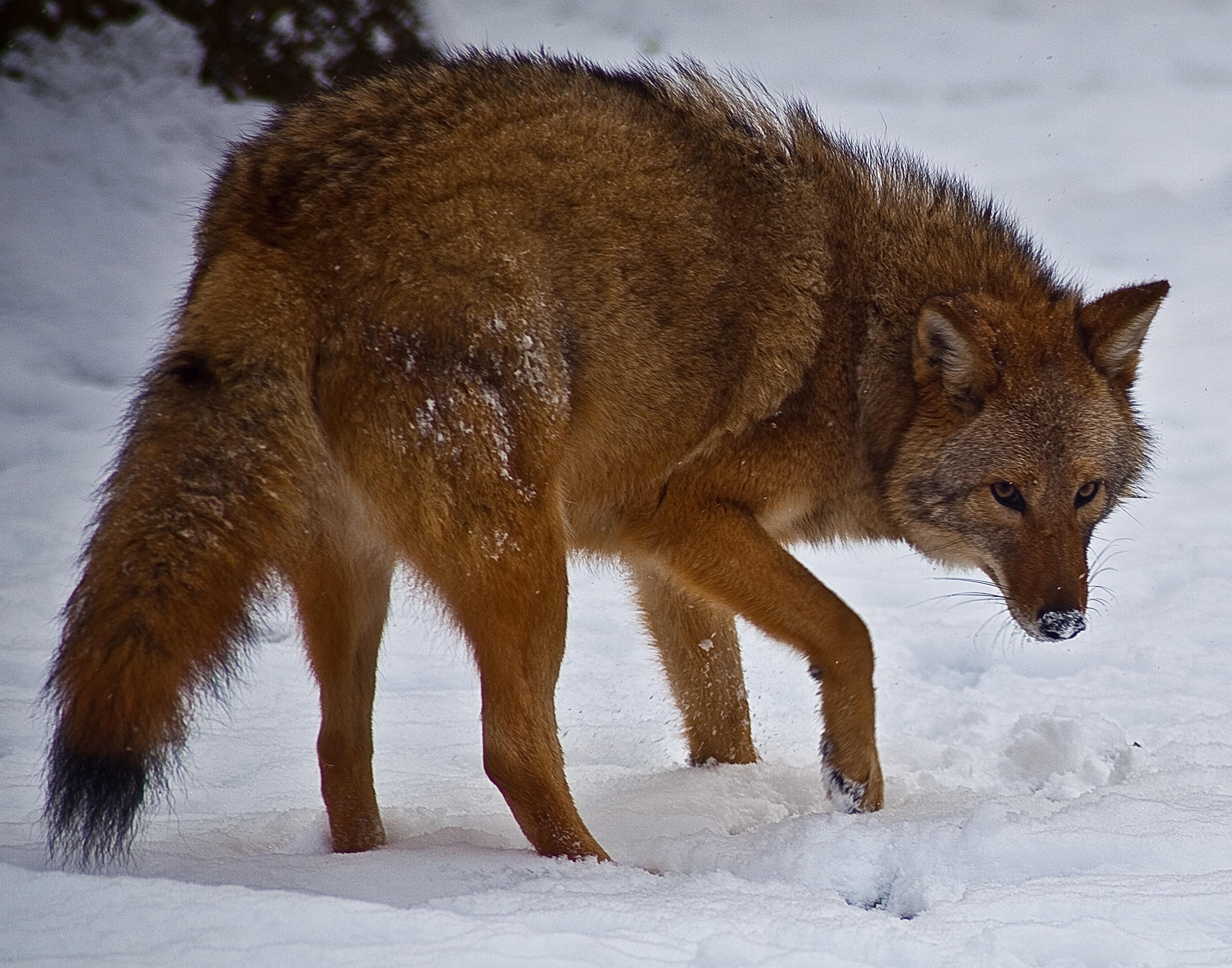 Coywolf: a szemünk láttára született egy új farkasfaj és már egymillió van belőle
