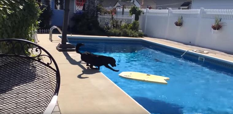 Ez a kutya valamiért nem akarja, hogy víz érje a bundáját. De közben nagyon szeretné azt a labdát a medence közepéről