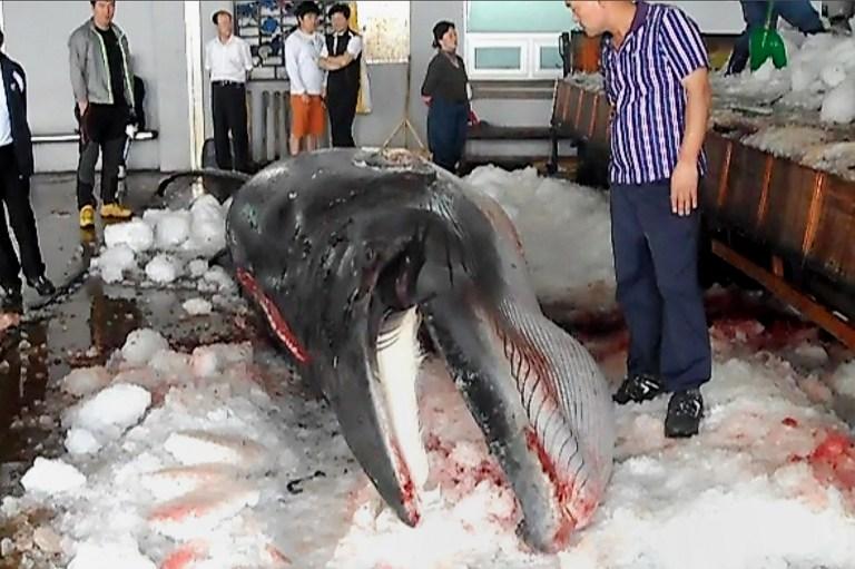 Japán folytatja a bálnavadászatot, hiába tiltotta meg neki az ENSZ