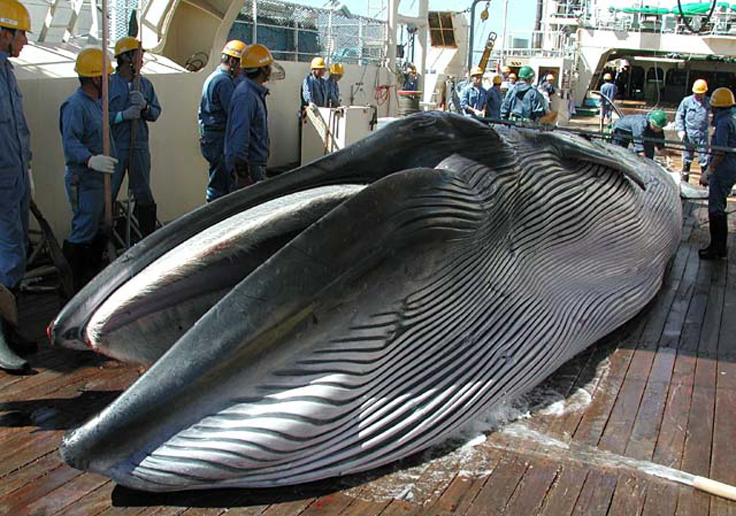 Egy jelentés szerint Japán kilépne a Nemzetközi Bálnavadászati Bizottságból, hogy újrakezdhesse a kereskedelmi bálnavadászatot