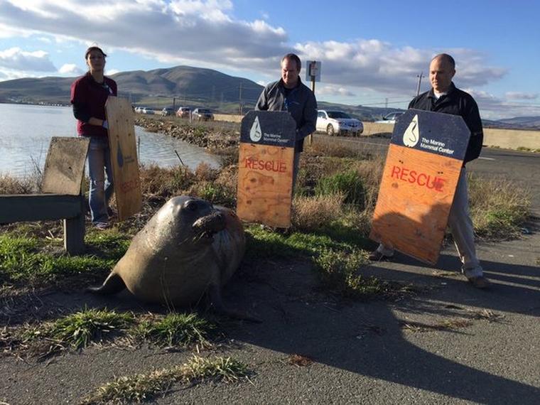 Két napig tartott blokád alatt egy kaliforniai sztrádát egy vemhes elefántfóka