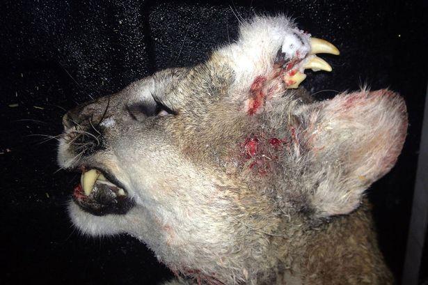 Homlokán is volt fogsora egy most lelőtt pumának