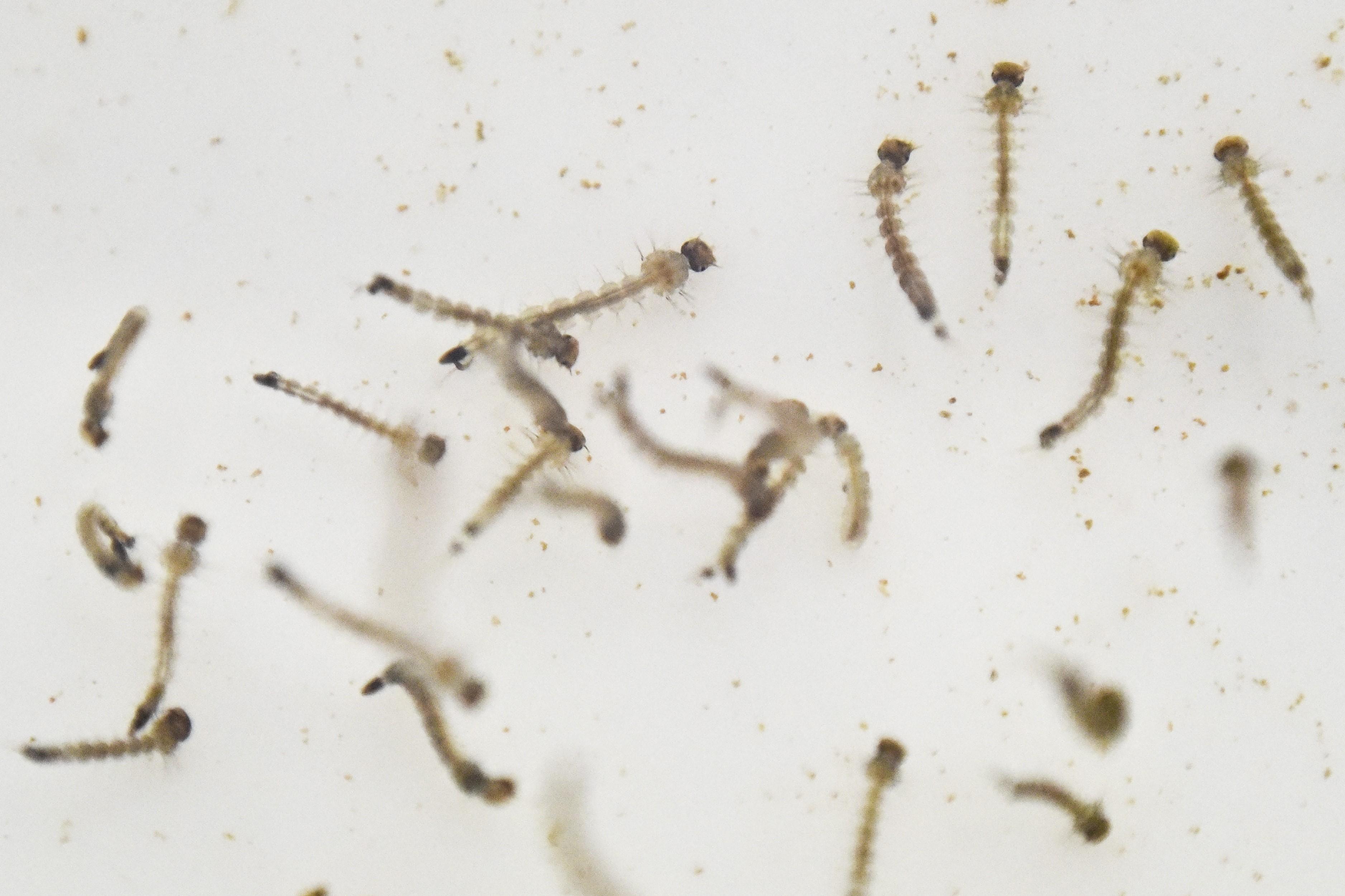 Most már nyálban és vizeletben is kimutatták a zikavírust