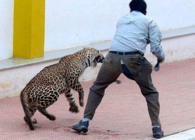 Egy indiai iskolában 10 órán át küzdöttek egy leopárddal