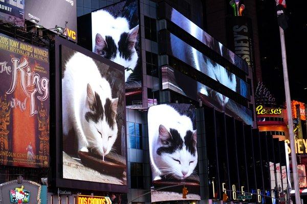 Egy hónapon keresztül minden nap lejátszanak egy macskás videót a Times Square óriási kivetítőin
