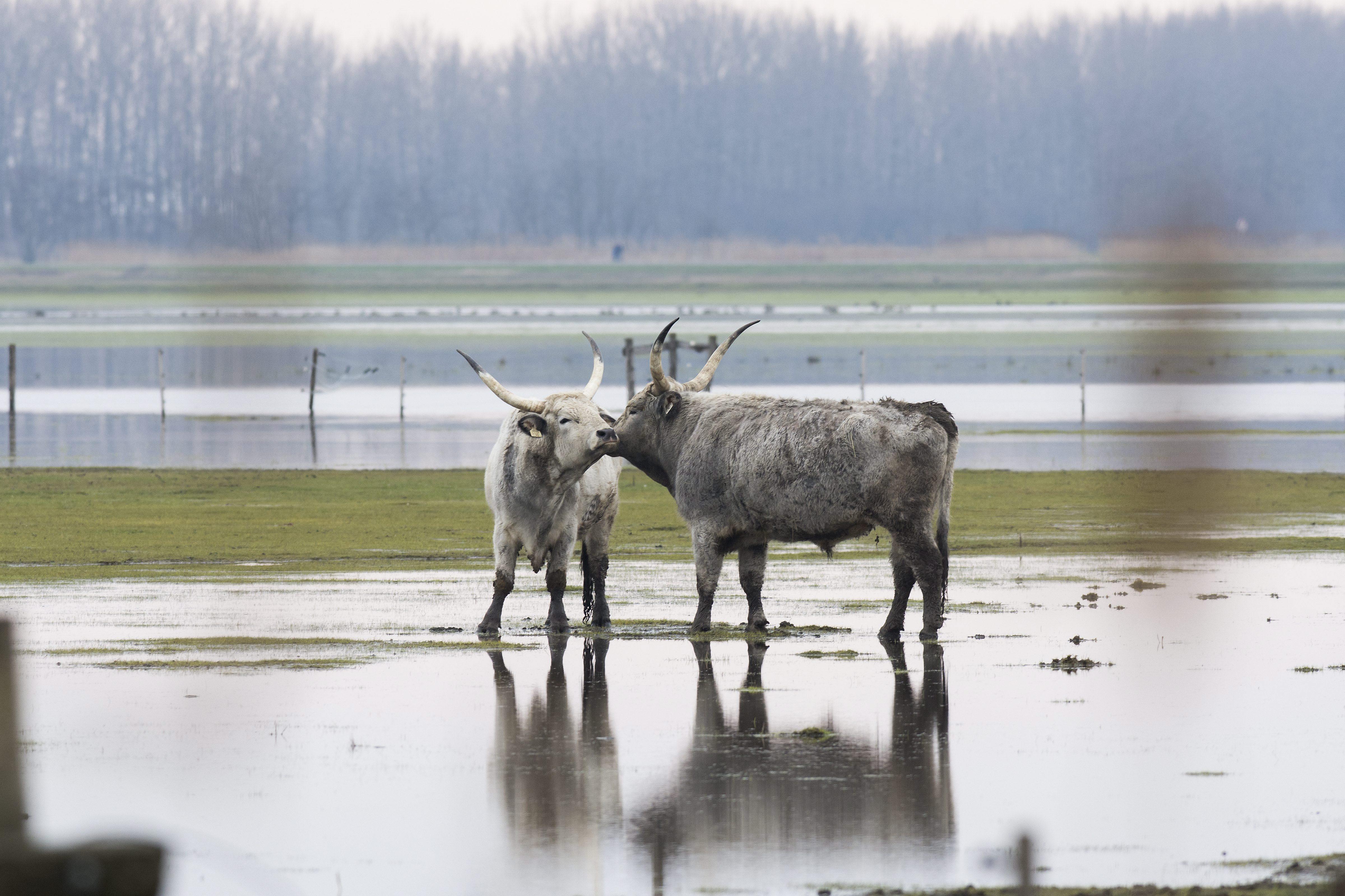 Senkinek sem könnyű: Ellepte a belvíz a szürkemarhák legelőjét Hajdú-Biharban