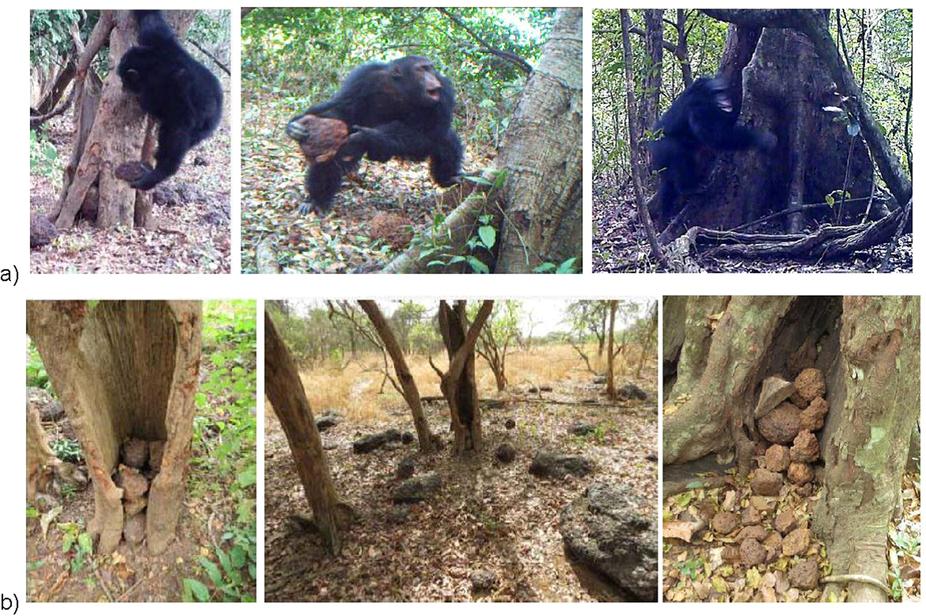 Az év rejtélye, hogy miért dobálnak nyugat-afrikai csimpánzok kövekkel fákat