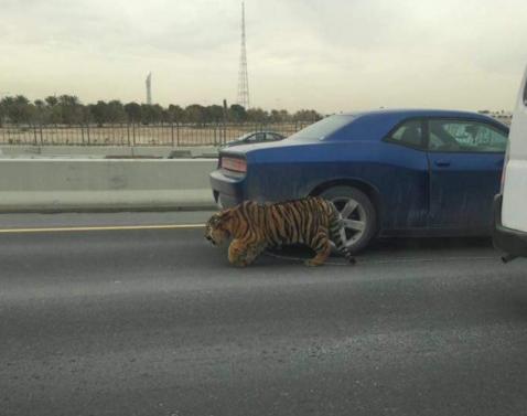 Szökött tigris menekült a katari autópályán