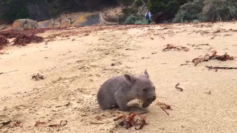 Az év állása: tasmaniai fővombatölelő