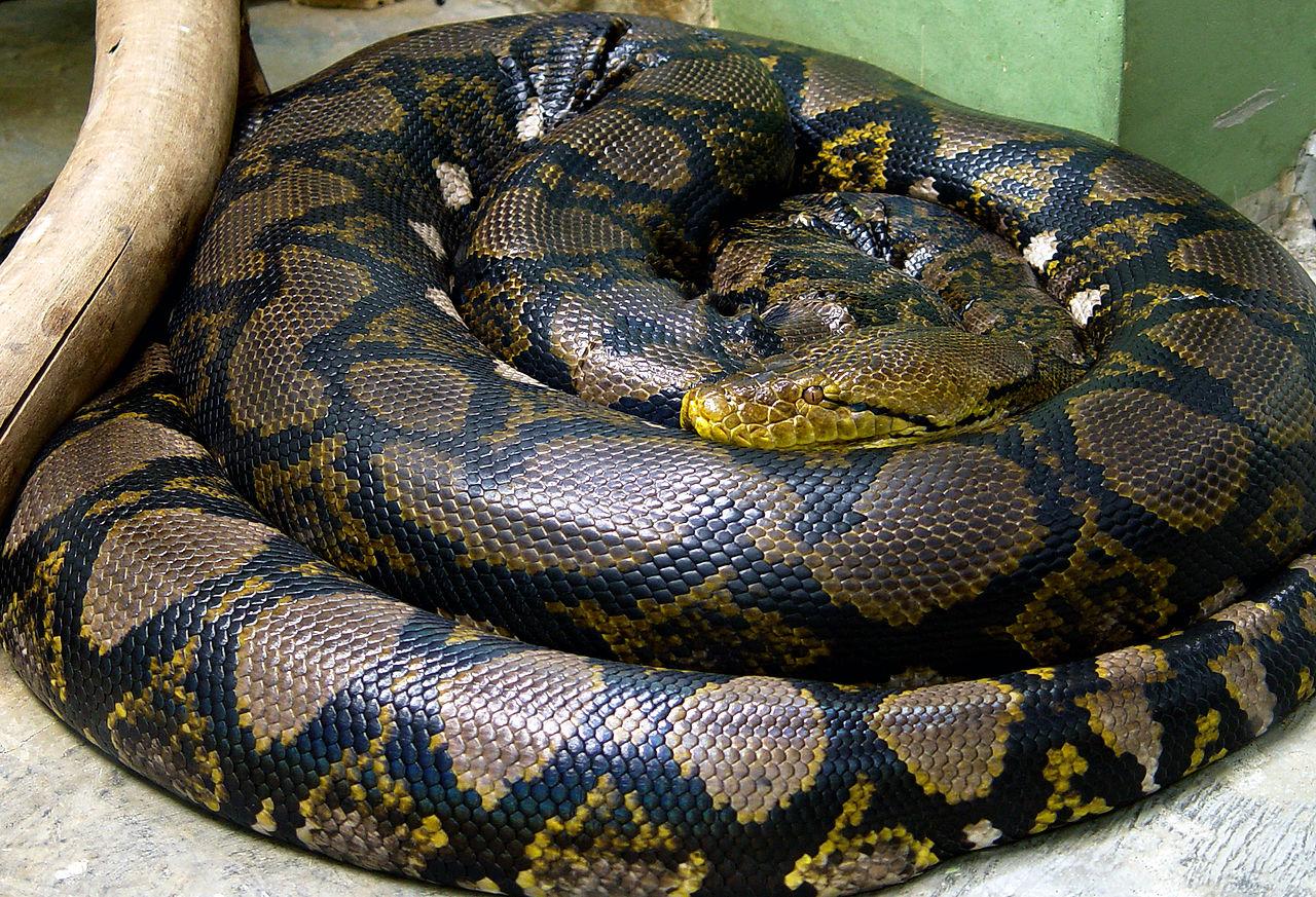 Jó reggelt! Malajziában elfogták a világ leghosszabb kígyóját