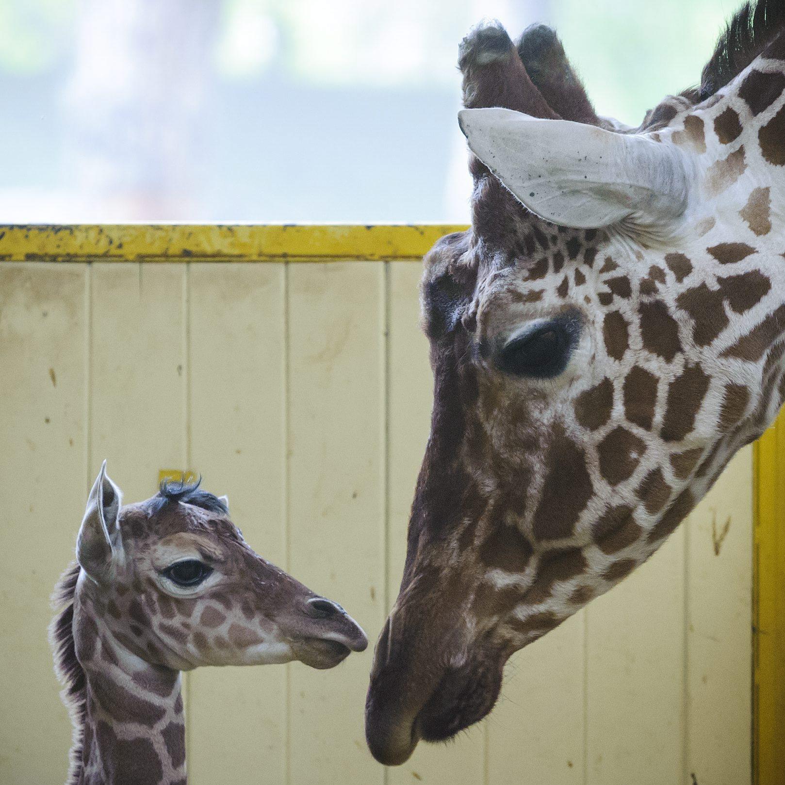 Elpusztult a debreceni állatkert 18 napos kis zsiráfja