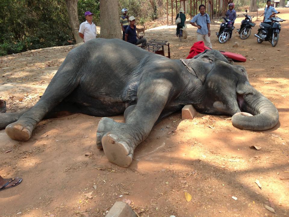 Halálba hajszolták a turistákat cipelő elefántot Angkorban