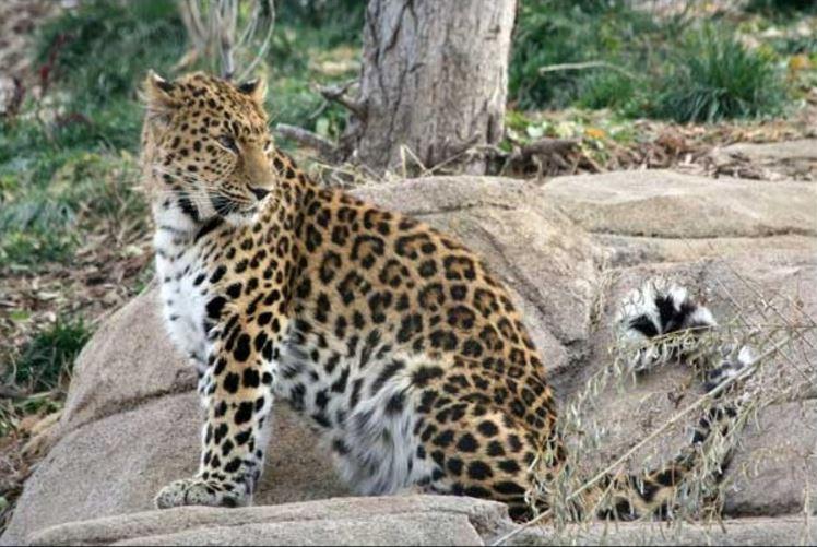 Kiszökött egy leopárd a kifutójából Salt Lake Cityben