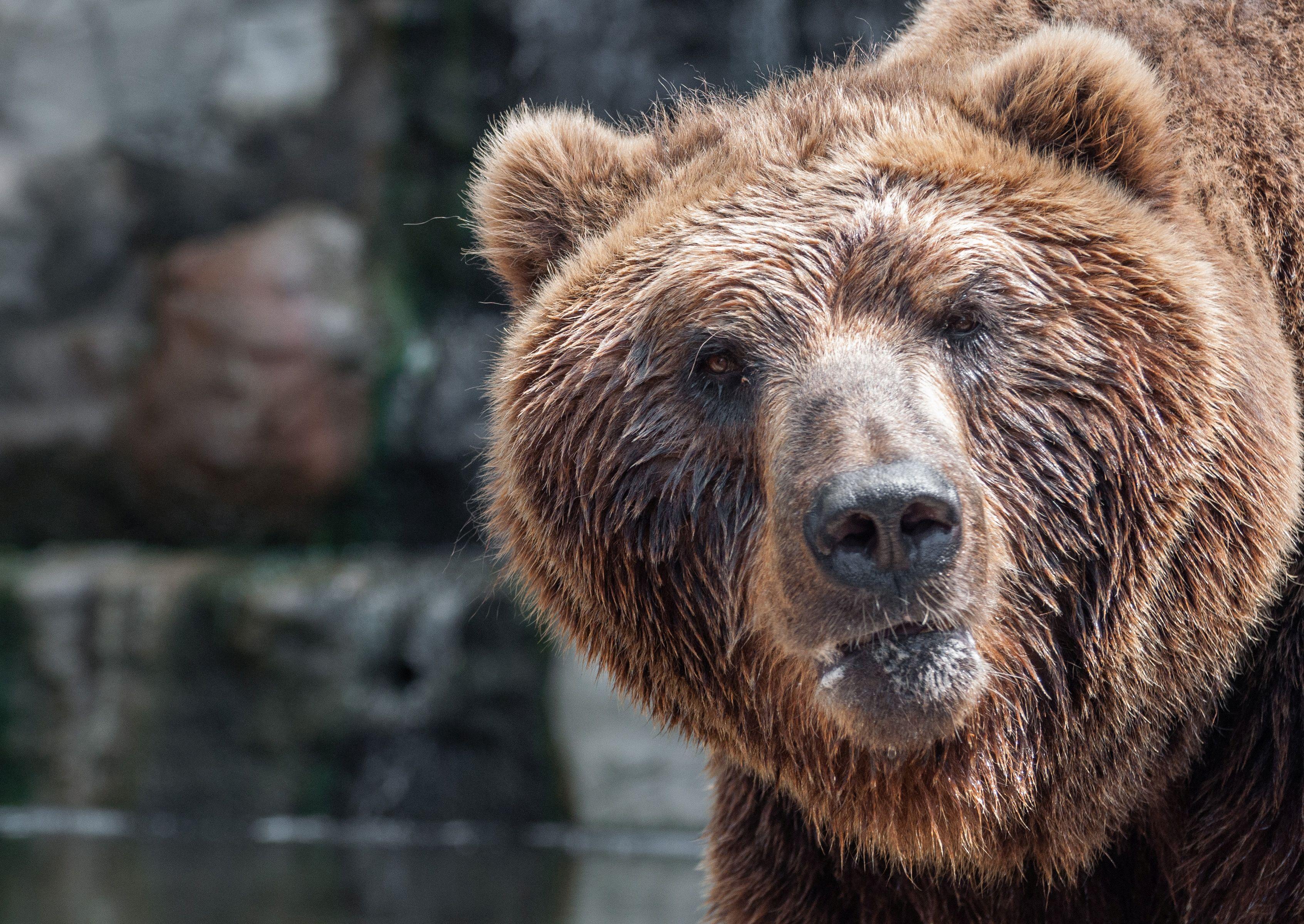 Megállt a forgalom egy orosz városban, mert mindenki azt mozizta, ahogy egy medve üldöz egy férfit
