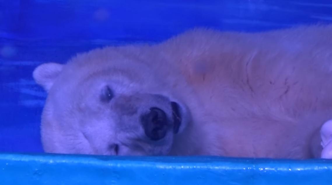 Már majdnem 300 ezren követelnek jobb sorsot a világ legszomorúbb jegesmedvéjének