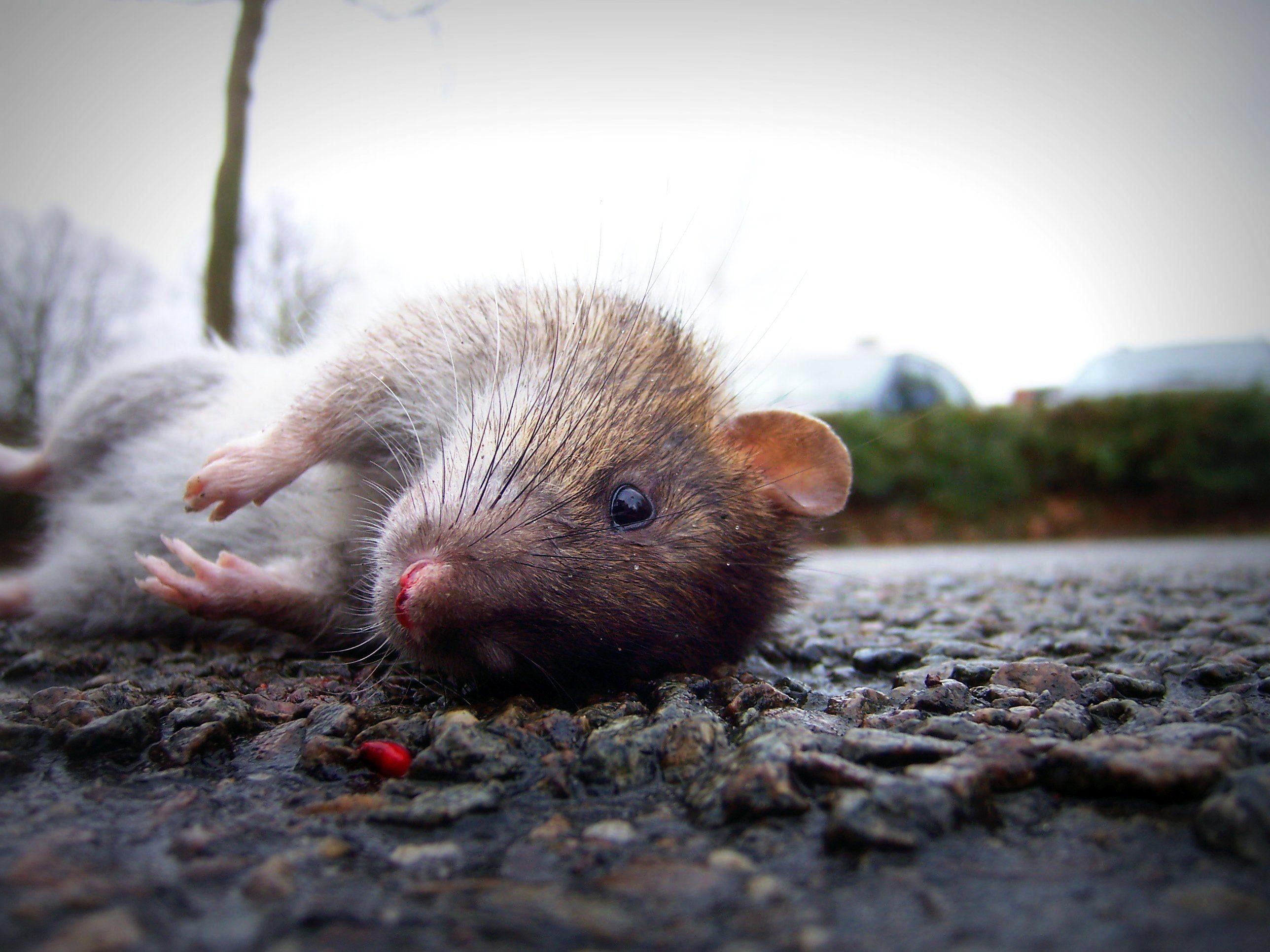 A bíróság szerint nem volt rendben a budapesti patkányirtó tender