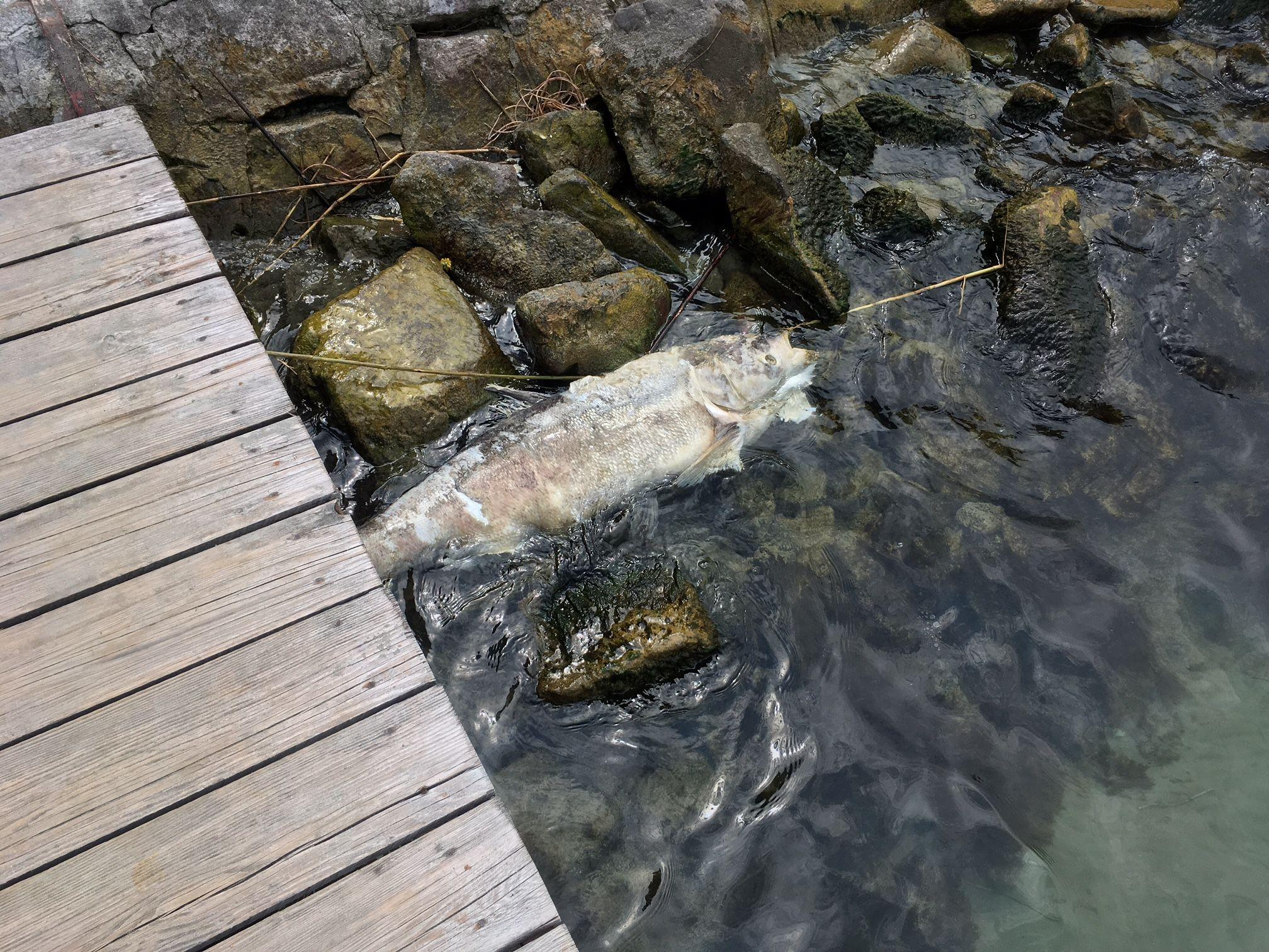 Több napja rohad egy döglött hal a siófoki Aranyparton