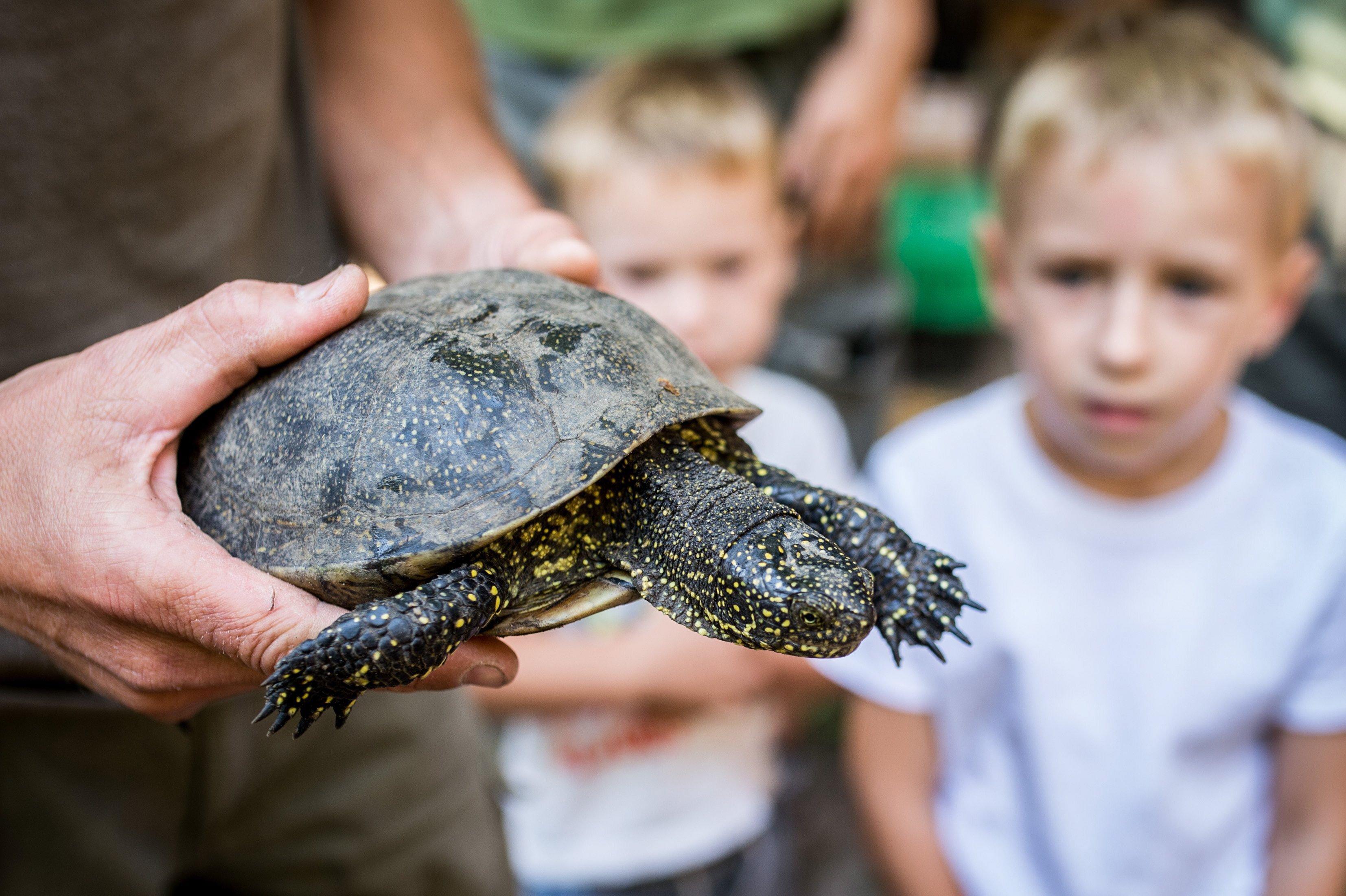 Visszatalált a Pilisi Parkerdőbe a mocsári teknős