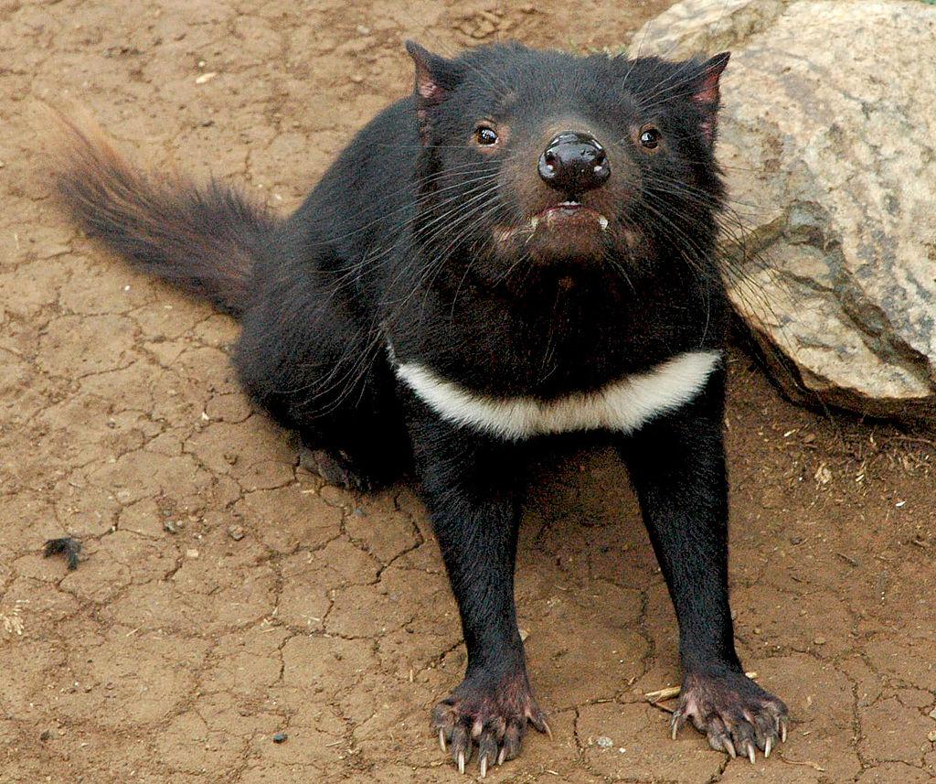 Az erszényes ördög villámgyors génmódosítással védekezik a fajt a kihalás szélére sodró pofarák ellen