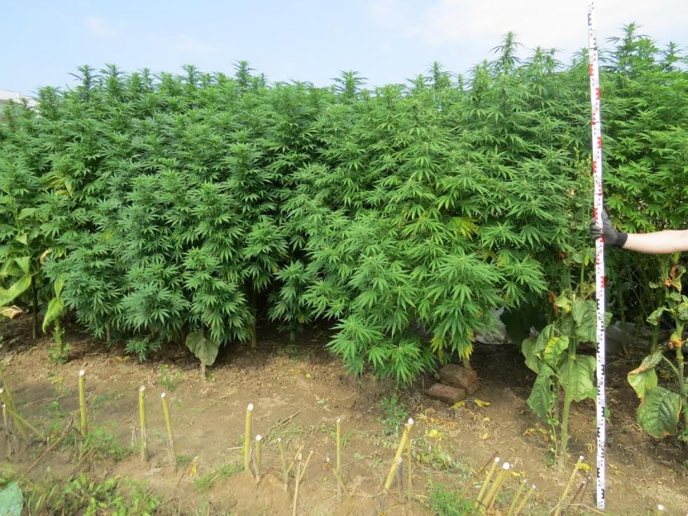 Kannabiszerdő volt az iskola mellett