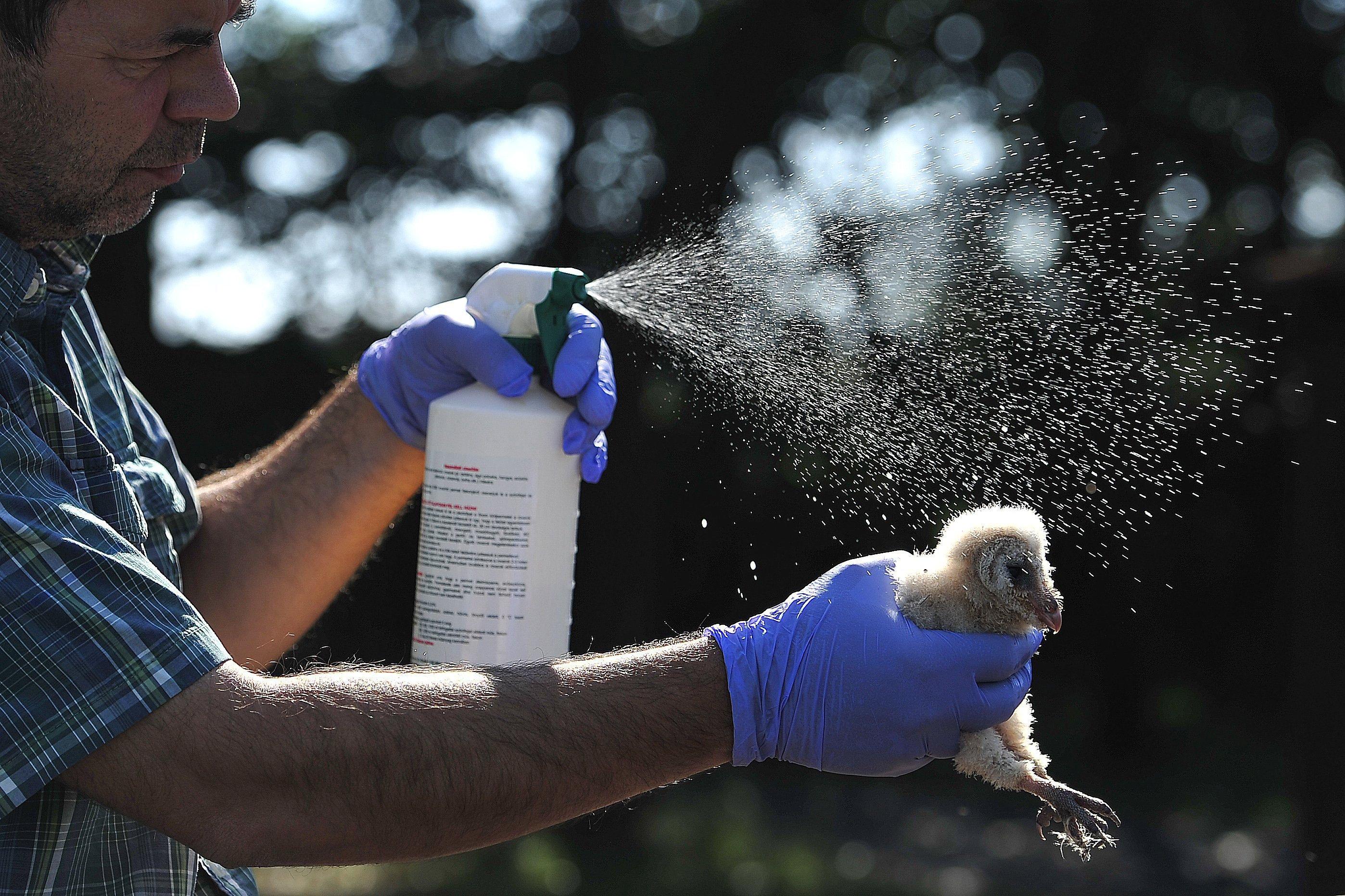 Megszabadították az élősködőktől a hortobágyi gyöngybagolyfiókát