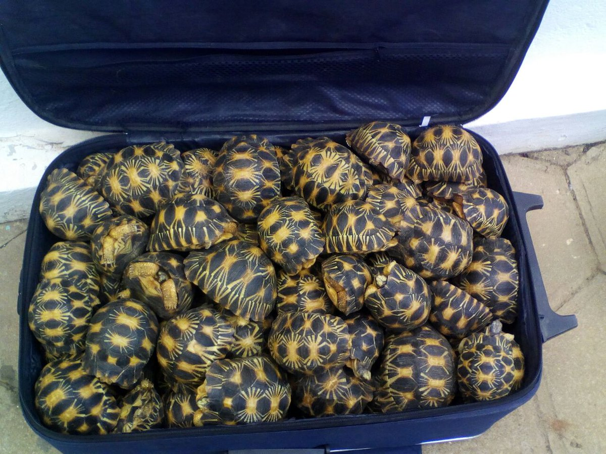 Azt hiszed, kokaint csempészni extrém? Akkor ezeket a teknőscsempészeket figyeld meg