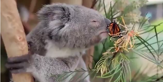 Nincs szebb a koala és a lepke barátságánál