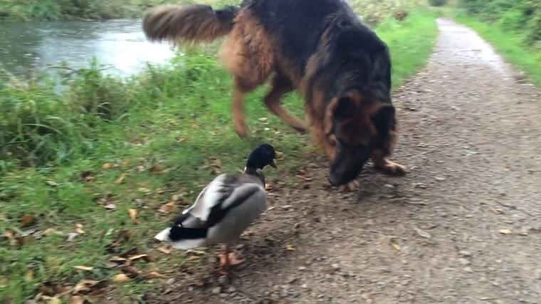 Boksz: felkérdezte a kutya, beleállt a szituációba a kacsa