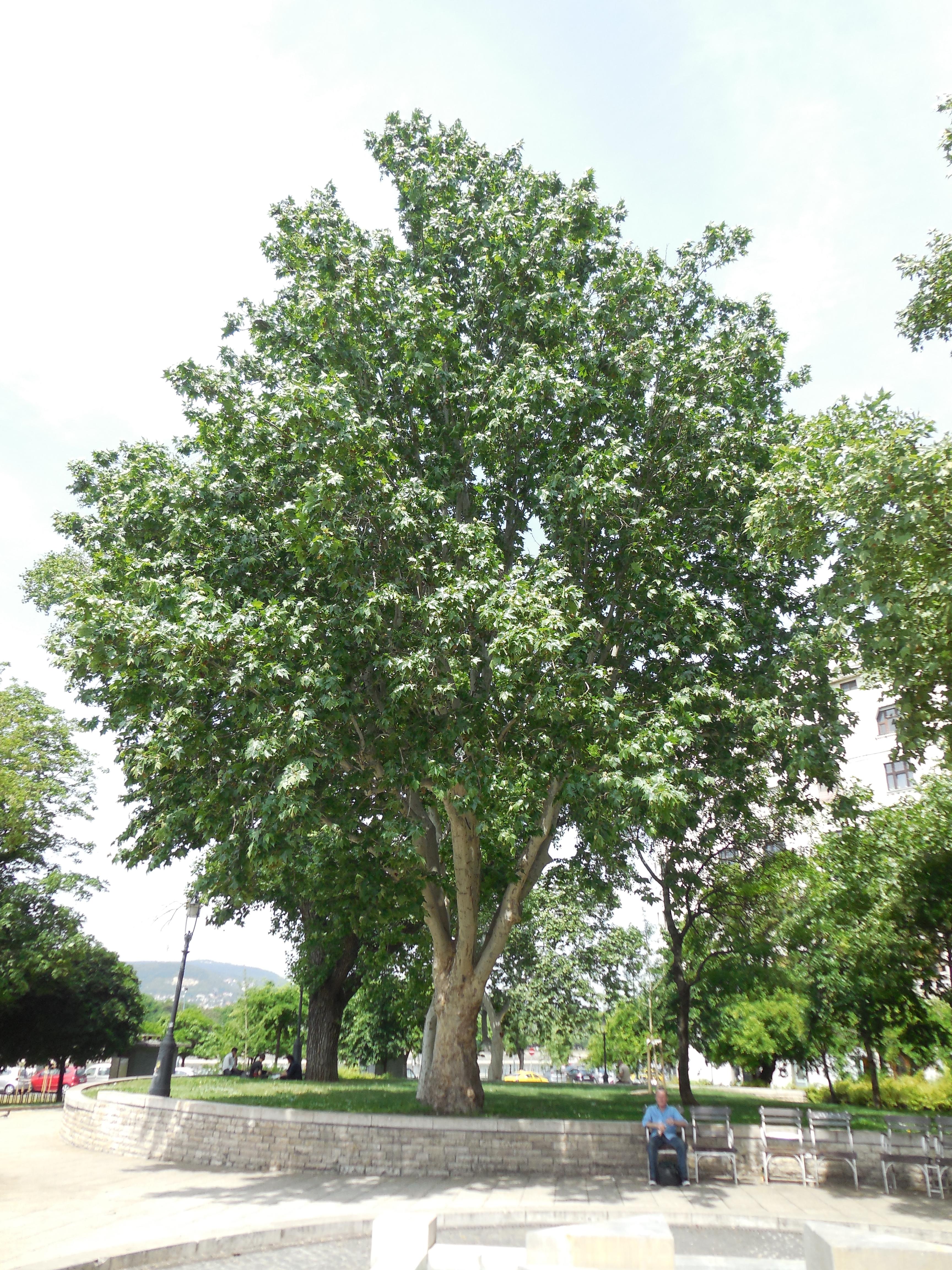 A Jászai Mari tér legszebb platánja lett az év fája 2016-ban