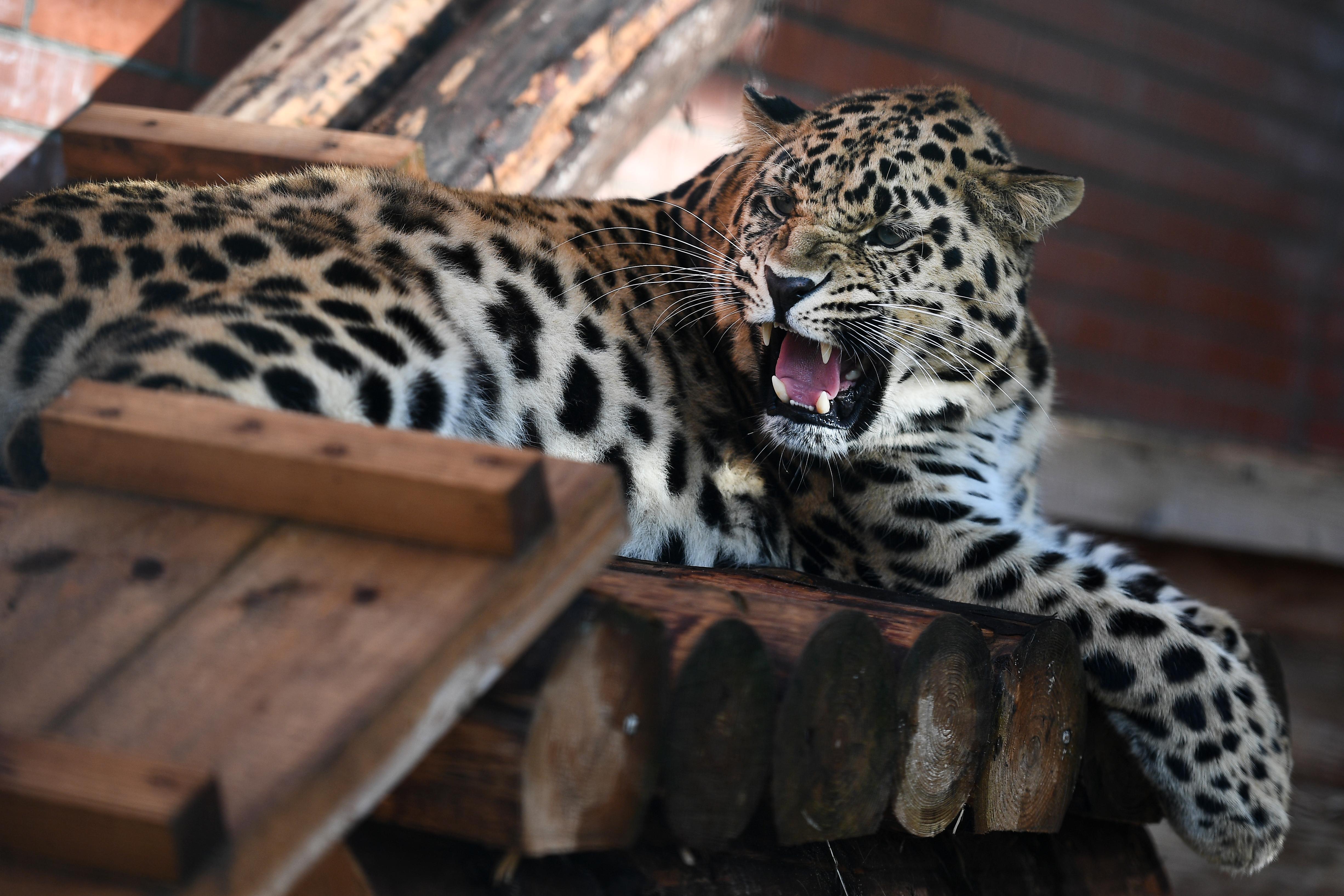 Élve elégettek egy ketrecbe zárt leopárdot Indiában