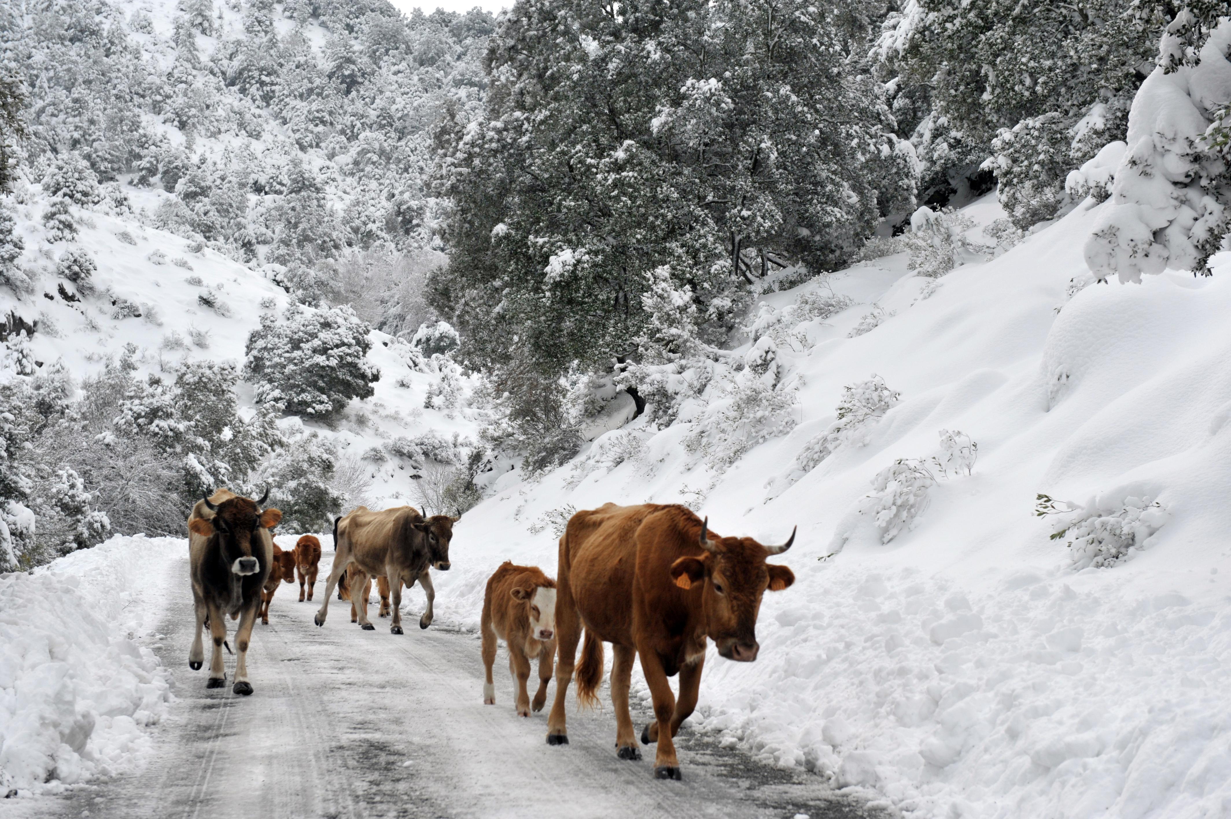 Egy ügyetlen tehén sodort el egy idős, német nőt a jeges úton