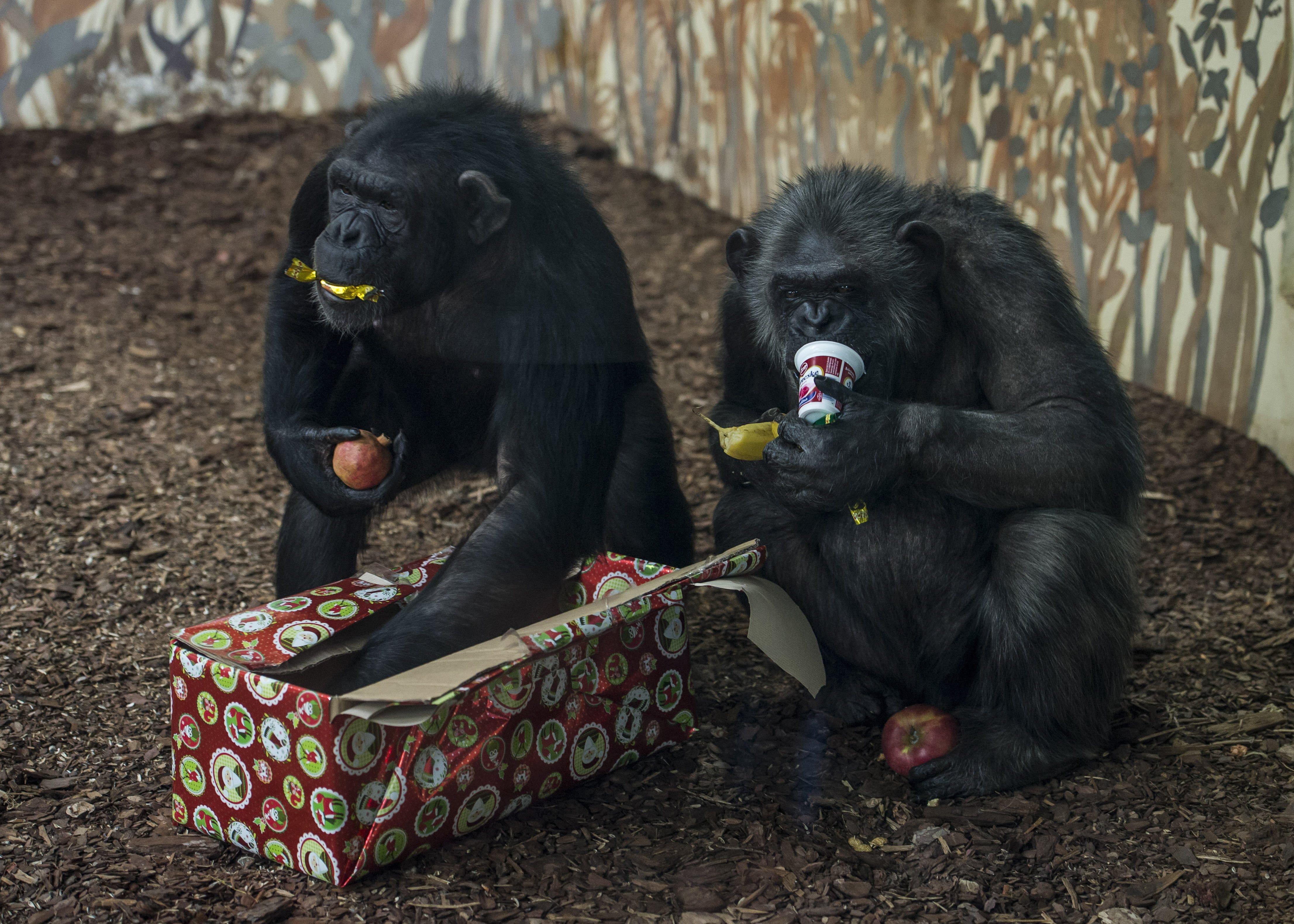Agyonlőttek két agresszív csimpánzt a gondozóik egy hollandiai állatkertben